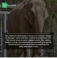 Bengal: fp  fact point  An elephant destroyed a house in a remote village  in Bengal, India and then turned to head back into  the forest when a baby trapped under the rubble  began crying. The elephant turned back and gently  removed every last bit of debris covering the  baby with their trunk.  or sources  lacipoini.net