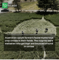 Memes, Circles, and Australian: fp  fact point  Australian opium farmers found mysterious  crop circles in their fields. The culprits were  wallabies who got high and bounced around  in circles  for sources acipointenet