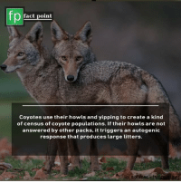 America, Memes, and News: fp  fact point  Coyotes use their howls and yipping to create a kind  of census of coyote populations. If their howls are not  answered by other packs, it triggers an autogenic  response that produces large litters.  for souicest Subscribe to our YouTube channel: youtube.com-FactPoint check Source at : FactPoint.net- Or check this link: https:-news.nationalgeographic.com-2016-08-coyote-america-dan-flores-history-science-