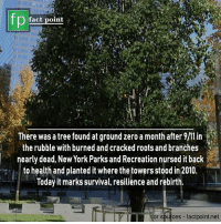 🌳: fp  fact point  There was a tree found at ground zero a month after  the rubble with burned and cracked roots and branches  nearly dead, New York Parks and Recreation nursed it back  to health and planted it where thetowers stood in 2010.  loday it marks survival, resilience and rebirth  or sources factpoint.net 🌳