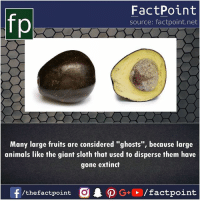 "Animals, Memes, and Giant: fp  FactPoint  source: factpoint.net  Many large fruits are considered ""ghosts"", because large  animals like the giant sloth that used to disperse them have  gone extinct  f/thefactpoint O PG/factpoint"