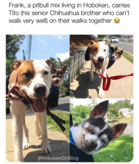 Oh my god Frank and Tito. Via @hobokengirlblog Pups @theyinyang_twins: Frank, a pitbull mix living in Hoboken, carries  Tito (his senior Chihuahua brother who can't  walk very well) on their walks together  @HobokenGirlBlog Oh my god Frank and Tito. Via @hobokengirlblog Pups @theyinyang_twins