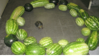 "Gif, Tumblr, and Blog: franksino: everets:  I want this to be a gif where it zooms into the turtles face and he does a little grin like "" I'm about to eat the sh*t out of these melons""  OK."