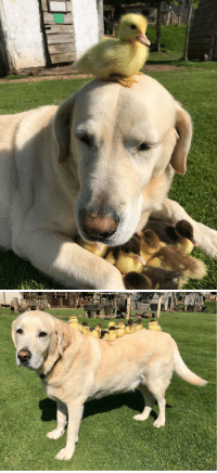 Dad, Mother, and Fred: Fred the 10yo lab just became a dad to nine ducklings after their mother disappeared