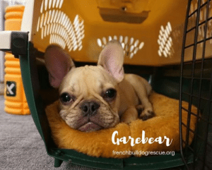 "Memes, Best, and Canada: frenchbulldogrescue.org ""Garebear is a confident puppy who is looking for someone to help him become the dog we know he can be. He is smart, squishy, and has the best eyeliner game in town.""  Garebear is available for adoption! Read all about this puppy on our website <location, likes, dislikes> and apply to adopt him today: http://frenchbulldogrescue.org/adoption-info/available-dogs2  Remember, we do accept out-of-state/province applications, and we adopt to residents of the US and Canada. Read more about our adoption process on our website.:)"