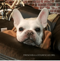"""Memes, Arkansas, and 🤖: FRENCHBULLDOGRESCUE ORG Guess what, guess what! We've got ourselves a little update from Cinco's mom!   """"On this week back in 2014, we dropped everything and set forth on a 36 hour road trip from DC to Arkansas. The trip was long, but worth it. To be able to pick up Cinco from his foster home is a memory I will never forget. This little bundle of love was immediately quite the addition to our family; his personality from day 1 packed quite the punch. But life has been infinitely better and happier ever since he came into our lives.  I am so thankful that we were able to open our home to the best bear I have ever known. Cinco and I are counting down the days until daddy gets back from deployment. In the meantime, Cinco has settled into the lazy boy and has comfortably assumed his de facto role as man of the house. He has told me that he will not let go of this title easily.    To the wonderful people at FBRN, words cannot describe how incredibly blessed we feel to have every single day with Cinco.""""  Awwwww, what a great pupdate!  Read more happy stories about our grads here: http://frenchbulldogrescue.org/adopted/"""