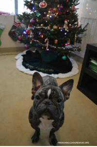 Amazon, Memes, and amazon.com: FRENCHBULLDOGRESCUE ORG UPDATE: Pele's wish list has sold out! Thank you all so much and Merry Christmas!  New foster frenchie Pele wants to know if you can you help him out with some supplies to help him feel better? A few treats, some supplements, potions for his furs... We've setup an Amazon Wish List that you can order items from that will be shipped right to Pele's foster home - the address is already stored privately in the Wish List: https://smile.amazon.com/gp/registry/wishlist/3UKN3XX36NHNZ/ref=nav_wishlist_lists_1  Pele was surrendered to FBRN when a change in his former owners life situation prevented them from being able to care for his allergies. His vet visit showed a bacterial infection on his skin, so we will be working to get that cleared up. He is brand new to FBRN and should be debuting on frenchbulldogrescue.org in another week or so and you will be able to learn more about her then.  Thank you for your support and for helping foster frenchies like Pele and have a wonderful Christmas Eve!