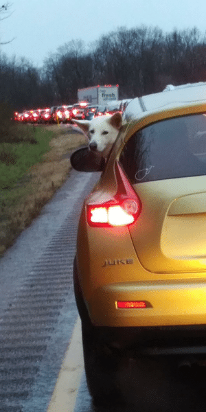 Even dogs hate holiday traffic!: fresh  JUKE Even dogs hate holiday traffic!