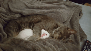 Guinea Pig, Cat, and Pig: frf oaaND Just a pic of my cat snuggling my guinea pig