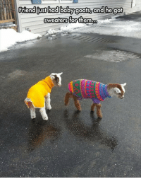 Baby, Baby Goats, and Got: friend fust had baby goats, and he got  sweaters for them.