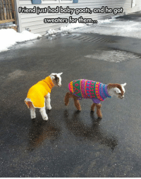 Baby, Baby Goats, and Tiny: Friendiiust hadlbabyg  oats, an  d hegot  sweaters for them. <p>Tiny Baby Goats In Sweaters.</p>
