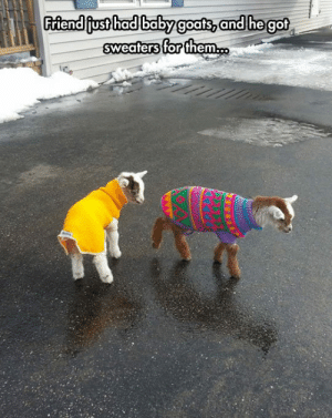 Tumblr, Blog, and Http: Friendiiust hadlbabyg  oats, an  d hegot  sweaters for them. srsfunny:Tiny Baby Goats In Sweaters