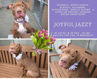 Being Alone, Cats, and Click: FRIENDLY, AFFECTIONATE,  PLAYFUL, OUTGOING,  W/EVERYONE. GENTLE W/KIDS. A  STERLING RESUME! AVERAGE  RATED SWEETHEART  JOYFUL JAZZY  ID 40740, @ 10 MOS., 50 LBS.  WAITING FOR YOU, IN BROOKLYN TO BE KILLED – 9/21/2018  *** PERFECT PUPPY ALERT *** AVERAGE RATED, JOYFUL JAZZY!  She's barely 10 months old, if that, and she was tossed out of her home because of a crankly landlord who laid down the law to her devastated parent --- NO PETS! We see this time and again, and mostly due to the NYC Housing Ban on pets over 25 lbs and also due to the prejudice of insurance companies. There is no other reason for pets as perfect, and perfectly sweet as JAZZY to be abandoned to kill shelters in NYC. This little lady is absolutely wonderful – she ACED her shelter assessment, earning herself a platinum AVERAGE rating, she lived with and loved another dog, she is outgoing, friendly, affectionate, playful and well mannered too. She has a sterling resume for one so young – housetrained, knows commands, never guards her things, and she is well behaved when home alone. She even LOVES baths! Go figure! But it is only a matter of time before this adorable girl gets the dreaded shelter cold and ends up on the list to die. So now it is up to you – can you share her to the moon and back? Can you foster or adopt her so her life can be saved? If you can, please PRIVATE MESSAGE our page or email us at MustLoveDogsNYC@gmail.com for assistance! JAZZY deserves a loving perfect family – just like her!  VIDEOS: Jazzy Puppy <3 https://youtu.be/AJezdbchL9Q Jazzy Relaxing  https://www.youtube.com/watch?v=Jqyi8mA6YmQ  JAZZY, ID # 40740, @ 10 Mos. Old, 50.6 lbs. Brooklyn ACC, Large Mixed Breed, Tan / White, Unaltered Female Owner Surrender Reason: LANDLORD – NO PETS HOUSING Shelter Assessment Rating: AVERAGE Intake Behavior Rating: 1. Green  OWNER SURRENDER NOTES – BASIC INFORMATION: Jazzy is a ten months old female. She is a tan medium dog. Jazzy was surrendered to the cente
