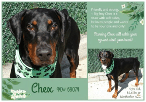 INTAKE DATE: 07-14-2019  Chex ~ this stunning hunk will catch your eye and steel your heart!  A volunteer writes: Chex did not tell me that he was such a strong guy! He looks so peaceful in his kennel. A masterpiece posing to be admired by our visitors! Once leashed, he is quite a bronco ready for a rodeo! Other dogs, bikes and razors get him all worked up. A harness is in order and does the trick. He even sits on command, looks at me, maybe for approval and welcomes caresses even without treats. Yep, he is quite a Titan but with soft sides too! Chex needs for now to be your one and only and to work with his new owners on becoming a tamed stallion that will become the pride and love of his family. Chex is at the Manhattan Care Center, dreaming to be your student and forever best friend!  CHEX, ID# 69074, 4 yrs old, 81.6 lbs, Manhattan Animal Care Center, Large Mixed Breed Cross, Black / Tan Male, Found Stray Shelter Assessment Rating: LEVEL 2 No young children (under 5) Single-pet home Recommend no dog parks Medical Behavior Rating:  BEHAVIOR NOTES  Means of surrender (length of time in previous home): Stray  SAFER ASSESSMENT: Date of assessment: 15-Jul-2019  Summary:  Leash Walking Strength and pulling: Extreme Reactivity to humans: None Reactivity to dogs: Moderate Leash walking comments: Pulls towards dogs and barks  Sociability Loose in room (15-20 seconds): Highly social Call over: Approaches readily Sociability comments: Body soft, stays by assessor, jumps up  Handling Soft handling: Accepts contact Exuberant handling: Accepts contact Handling comments: Body soft  Arousal Jog: Follows (loose) Arousal comments: None  Knock: Approaches (exuberant) Knock Comments: Jumps up  Toy: No response Toy comments: None  PLAYGROUP NOTES - DOG TO DOG SUMMARIES:  7/15: When introduced off leash to the female greeter dog, Chex is initially anxious and keeps to himself. He later approaches and lunges toward the female greeter dog while growling. Due to the intensity of this behavior, a second interaction will not be conducted, and it is recommended that Chex be placed in a single dog household until professional followup can be conducted outside the shelter.  INTAKE BEHAVIOR: Date of intake: 14-Jul-2019 Summary: Loose body, allowed handling  MEDICAL BEHAVIOR: Date of initial: 14-Jul-2019 Summary: Social, bit tense, allowed handling  ENERGY LEVEL: We have no history on Chex so we cannot be certain of his behavior in a home environment. However, he is a young, enthusiastic, social dog who will need daily mental and physical activity to keep him engaged and exercised. We recommend long-lasting chews, food puzzles, and hide-and-seek games, in additional to physical exercise, to positively direct his energy and enthusiasm.  BEHAVIOR DETERMINATION: Level 2 Behavior Asilomar TM - Treatable-Manageable  Recommendations:  No young children (under 5) Single-pet home Recommend no dog parks  Recommendations comments:  No young children: Due to the high level of jumping up seen at the care center, we recommend a home without young children. Older children who are comfortable around large, jumpy dogs should have an in-depth interaction prior to adoption.  Single pet/no dog parks: See DOG-DOG.  Potential challenges:  Basic manners/poor impulse control On-leash reactivity/barrier frustration Strength/leash pulling  Potential challenges comments:  Basic manners/poor impulse control: Chex jumps up a lot on people in a social manner. Please see handout on Basic Manners.  On-leash reactivity/barrier frustration: At the care center, Chex has been observed to react to other dogs on leash, lunging towards them and barking. Please see handout on On-leash reactivity/barrier frustration.  Strength/leash pulling: Chex pulls extremely hard on leash. Please see handout on Leash Manners.  MEDICAL EXAM NOTES  14-Jul-2019  DVM Intake Exam Estimated age: 4 Microchip noted on Intake? n Microchip Number (If Applicable): n History : stray Subjective: BAR, euhydrated, MM pink/moist, CRT Observed Behavior: friendly; slightly tense but allowed for full PE Evidence of Cruelty seen -n Evidence of Trauma seen -n Objective T = - P = wnl R = wnl EENT: Anterior chambers clear OU; no corneal defects; no ocular or nasal discharge; no oral masses or ulcerations seen Oral Exam: teeth in good cond – no calculus; no staining; all permanent teeth present PLN: No enlargements noted H/L: No murmurs or arrhythmias; strong, synchronous femoral pulses bilaterally; Eupneic; normal bronchovesicular sounds in all fields; no crackles/wheezes ABD: Non painful, no masses palpated U/G: two descended testicles MSI: BCS 5/9 ; Ambulatory x 4 with no lameness, skin free of parasites, no masses noted, healthy hair coat CNS: Appropriate mentation; no cranial nerve deficits; no proprioceptive deficits; no ataxia Rectal: externally normal Assessment: Healthy SURGERY: Okay for IN HOUSE surgery Prognosis: Excellent    * TO FOSTER OR ADOPT *   If you would like to adopt a NYC ACC dog, and can get to the shelter in person to complete the adoption process, you can contact the shelter directly. We have provided the Brooklyn, Staten Island and Manhattan information below. Adoption hours at these facilities is Noon – 8:00 p.m. (6:30 on weekends)  If you CANNOT get to the shelter in person and you want to FOSTER OR ADOPT a NYC ACC Dog, you can PRIVATE MESSAGE our Must Love Dogs page for assistance. PLEASE NOTE: You MUST live in NY, NJ, PA, CT, RI, DE, MD, MA, NH, VT, ME or Northern VA. You will need to fill out applications with a New Hope Rescue Partner to foster or adopt a NYC ACC dog. Transport is available if you live within the prescribed range of states.  Shelter contact information: Phone number (212) 788-4000 Email adopt@nycacc.org  Shelter Addresses: Brooklyn Shelter: 2336 Linden Boulevard Brooklyn, NY 11208 Manhattan Shelter: 326 East 110 St. New York, NY 10029 Staten Island Shelter: 3139 Veterans Road West Staten Island, NY 10309  *** NEW NYC ACC RATING SYSTEM ***  Level 1 Dogs with Level 1 determinations are suitable for the majority of homes. These dogs are not displaying concerning behaviors in shelter, and the owner surrender profile (where available) is positive.   Level 2  Dogs with Level 2 determinations will be suitable for adopters with some previous dog experience. They will have displayed behavior in the shelter (or have owner reported behavior) that requires some training, or is simply not suitable for an adopter with minimal experience.   Level 3 Dogs with Level 3 determinations will need to go to homes with experienced adopters, and the ACC strongly suggest that the adopter have prior experience with the challenges described and/or an understanding of the challenge and how to manage it safely in a home environment. In many cases, a trainer will be needed to manage and work on the behaviors safely in a home environment.: Friendly and strong.  Big boy Chex is a  titan with soft sides,  he loves people and wants  to be your one and only!  Stunning, Chex will catch your  eye and steel your heart!  Chex 40# 69074  4 yrs old,  81.6 lbs @  Manhattan ACC INTAKE DATE: 07-14-2019  Chex ~ this stunning hunk will catch your eye and steel your heart!  A volunteer writes: Chex did not tell me that he was such a strong guy! He looks so peaceful in his kennel. A masterpiece posing to be admired by our visitors! Once leashed, he is quite a bronco ready for a rodeo! Other dogs, bikes and razors get him all worked up. A harness is in order and does the trick. He even sits on command, looks at me, maybe for approval and welcomes caresses even without treats. Yep, he is quite a Titan but with soft sides too! Chex needs for now to be your one and only and to work with his new owners on becoming a tamed stallion that will become the pride and love of his family. Chex is at the Manhattan Care Center, dreaming to be your student and forever best friend!  CHEX, ID# 69074, 4 yrs old, 81.6 lbs, Manhattan Animal Care Center, Large Mixed Breed Cross, Black / Tan Male, Found Stray Shelter Assessment Rating: LEVEL 2 No young children (under 5) Single-pet home Recommend no dog parks Medical Behavior Rating:  BEHAVIOR NOTES  Means of surrender (length of time in previous home): Stray  SAFER ASSESSMENT: Date of assessment: 15-Jul-2019  Summary:  Leash Walking Strength and pulling: Extreme Reactivity to humans: None Reactivity to dogs: Moderate Leash walking comments: Pulls towards dogs and barks  Sociability Loose in room (15-20 seconds): Highly social Call over: Approaches readily Sociability comments: Body soft, stays by assessor, jumps up  Handling Soft handling: Accepts contact Exuberant handling: Accepts contact Handling comments: Body soft  Arousal Jog: Follows (loose) Arousal comments: None  Knock: Approaches (exuberant) Knock Comments: Jumps up  Toy: No response Toy comments: None  PLAYGROUP NOTES - DOG TO DOG SUMMARIES:  7/15: When introduced off leash to the female greeter dog, Chex is initially anxious and keeps to himself. He later approaches and lunges toward the female greeter dog while growling. Due to the intensity of this behavior, a second interaction will not be conducted, and it is recommended that Chex be placed in a single dog household until professional followup can be conducted outside the shelter.  INTAKE BEHAVIOR: Date of intake: 14-Jul-2019 Summary: Loose body, allowed handling  MEDICAL BEHAVIOR: Date of initial: 14-Jul-2019 Summary: Social, bit tense, allowed handling  ENERGY LEVEL: We have no history on Chex so we cannot be certain of his behavior in a home environment. However, he is a young, enthusiastic, social dog who will need daily mental and physical activity to keep him engaged and exercised. We recommend long-lasting chews, food puzzles, and hide-and-seek games, in additional to physical exercise, to positively direct his energy and enthusiasm.  BEHAVIOR DETERMINATION: Level 2 Behavior Asilomar TM - Treatable-Manageable  Recommendations:  No young children (under 5) Single-pet home Recommend no dog parks  Recommendations comments:  No young children: Due to the high level of jumping up seen at the care center, we recommend a home without young children. Older children who are comfortable around large, jumpy dogs should have an in-depth interaction prior to adoption.  Single pet/no dog parks: See DOG-DOG.  Potential challenges:  Basic manners/poor impulse control On-leash reactivity/barrier frustration Strength/leash pulling  Potential challenges comments:  Basic manners/poor impulse control: Chex jumps up a lot on people in a social manner. Please see handout on Basic Manners.  On-leash reactivity/barrier frustration: At the care center, Chex has been observed to react to other dogs on leash, lunging towards them and barking. Please see handout on On-leash reactivity/barrier frustration.  Strength/leash pulling: Chex pulls extremely hard on leash. Please see handout on Leash Manners.  MEDICAL EXAM NOTES  14-Jul-2019  DVM Intake Exam Estimated age: 4 Microchip noted on Intake? n Microchip Number (If Applicable): n History : stray Subjective: BAR, euhydrated, MM pink/moist, CRT Observed Behavior: friendly; slightly tense but allowed for full PE Evidence of Cruelty seen -n Evidence of Trauma seen -n Objective T = - P = wnl R = wnl EENT: Anterior chambers clear OU; no corneal defects; no ocular or nasal discharge; no oral masses or ulcerations seen Oral Exam: teeth in good cond – no calculus; no staining; all permanent teeth present PLN: No enlargements noted H/L: No murmurs or arrhythmias; strong, synchronous femoral pulses bilaterally; Eupneic; normal bronchovesicular sounds in all fields; no crackles/wheezes ABD: Non painful, no masses palpated U/G: two descended testicles MSI: BCS 5/9 ; Ambulatory x 4 with no lameness, skin free of parasites, no masses noted, healthy hair coat CNS: Appropriate mentation; no cranial nerve deficits; no proprioceptive deficits; no ataxia Rectal: externally normal Assessment: Healthy SURGERY: Okay for IN HOUSE surgery Prognosis: Excellent    * TO FOSTER OR ADOPT *   If you would like to adopt a NYC ACC dog, and can get to the shelter in person to complete the adoption process, you can contact the shelter directly. We have provided the Brooklyn, Staten Island and Manhattan information below. Adoption hours at these facilities is Noon – 8:00 p.m. (6:30 on weekends)  If you CANNOT get to the shelter in person and you want to FOSTER OR ADOPT a NYC ACC Dog, you can PRIVATE MESSAGE our Must Love Dogs page for assistance. PLEASE NOTE: You MUST live in NY, NJ, PA, CT, RI, DE, MD, MA, NH, VT, ME or Northern VA. You will need to fill out applications with a New Hope Rescue Partner to foster or adopt a NYC ACC dog. Transport is available if you live within the prescribed range of states.  Shelter contact information: Phone number (212) 788-4000 Email adopt@nycacc.org  Shelter Addresses: Brooklyn Shelter: 2336 Linden Boulevard Brooklyn, NY 11208 Manhattan Shelter: 326 East 110 St. New York, NY 10029 Staten Island Shelter: 3139 Veterans Road West Staten Island, NY 10309  *** NEW NYC ACC RATING SYSTEM ***  Level 1 Dogs with Level 1 determinations are suitable for the majority of homes. These dogs are not displaying concerning behaviors in shelter, and the owner surrender profile (where available) is positive.   Level 2  Dogs with Level 2 determinations will be suitable for adopters with some previous dog experience. They will have displayed behavior in the shelter (or have owner reported behavior) that requires some training, or is simply not suitable for an adopter with minimal experience.   Level 3 Dogs with Level 3 determinations will need to go to homes with experienced adopters, and the ACC strongly suggest that the adopter have prior experience with the challenges described and/or an understanding of the challenge and how to manage it safely in a home environment. In many cases, a trainer will be needed to manage and work on the behaviors safely in a home environment.
