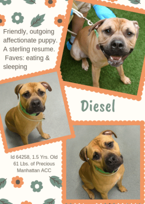 "Being Alone, Animals, and Bones: Friendly, outgoing  affectionate puppy.  A sterling resume.  Faves: eating &  sleeping  Diesel  Id 64258, 1.5 Yrs. Old  61 Lbs. of Precious  Manhattan ACC TO BE KILLED – 6/11/2019  He was just a happy puppy, starting out his life.....  A friendly, outgoing, affectionate puppy whose dad said that his favorite thing about DIESEL was that he knew commands – like sit and paw!  And that his favorite things in the world were ""eating"" and ""sleeping.""   Sounds perfect right?  Well it was. At least for a while, till the crappy landlord said that Diesel was not welcome.  What is it with landlords?  They break up families and don't care that these poor pups are then shipped off to scary shelters, where they are so frightened.  They tuck their tails, fall to the floor and alligator roll. This is not what Diesel deserved.  He was a wonderful boy, a happy, fun, carefree boy just starting out his life, who thought that he'd be loved for all of that life.  With summer coming he looked forward to walks and hikes and days at the pond, playing tug or chase with his family.  He is a sweet, sweet, dog who is just sad and trembling and alone.  Please save his life.  This is not where a puppy should end his life.  Crate trained, and those commands, people.  Come on, Message our page or email us at MustLoveDogsNYC@gmail.com for assistance fostering or adopting this wonderful little man.   DIESEL, ID# 64258, 1.5 Yrs. Old, 61.6 lbs, Unaltered Male Manhattan ACC, Large Mixed Breed, Brown / Black Owner Surrender Reason:  Landlord won't allow Shelter Assessment Rating:   LEVEL 3 (no children under Age 13)    AT RISK NOTE:   Diesel has remained fearful in the care center and would benefit from a slow approach along with reward based training. Medically, Diesel was diagnosed with canine infectious respiratory disease complex which is contagious to other animals and will require in home care.  INTAKE NOTE – DATE OF INTAKE, 5/29/2019:  Upon intake behavior Diesel's tail was tucked, he stiffened up when counselor attempted to leash him, and alligator rolled in an attempt to get leash off once on. Minimal handling was done at this time.  OWNER SURRENDER NOTES – BASIC INFORMATION:  Diesel is an unaltered male, large mixed breed, brown 1 year and 6 month old dog that was surrendered because his owner could no longer keep him.  He lived with one adult.  Owner stated that around strangers Diesel is friendly and outgoing.  Diesel has never spent time around children.  Diesel has never spent time around other dogs.  Diesel has never spent time around other cats.  Owner stated that Diesel will growl when you approach his food or bowl while he's eating.  He has no known bite history.  Diesel is partially housetrained.  He has a high energy level.  Other Notes:: Previous owner stated that Diesel is not bothered by having his treats, bones, or toys taken away. Diesel is not bothered by being pushed off the furniture. Diesel is not bothered if someone disturbs him while he's sleeping. Previous owner stated that Diesel will run away when you attempt to give him a bath. He does however enjoy being brushed. Diesel is not bothered by having his nails trimmed. He will bark when someone unfamiliar approaches the house or his human.   He has never had a medical issue and has no known medical concerns.   For a New Family to Know: Previous owner stated that Diesel's personality can best be described as friendly, affectionate, playful, confident, and excitable. Diesel's energy level is high. Previous owner stated that some of his favorite things about Diesel are that he knows commands. They include sit and paw. Diesel's favorite activities include eating and sleeping. Previous owner stated when at home Diesel tends to follow you around. His favorite toys are balls, stuffed animals and squeaky toys. Diesel's favorite games include chasing and tugging. Diesel has been kept mostly indoors. He sleeps in a cage in the bed room. Previous owner stated that Diesel is use to eating Beneful wet and dry food two times a day. His favorite treats are milk bones. Diesel is mostly house trained. Previous owner stated that he will only use the bathroom in the house when he cannot walk him. Diesel prefers to go to the bathroom in the grass, and is well-behaved when left alone at home. Previous owner stated that Diesel was crate trained in a metal cage. He is use to going on brisk walks on the leash. Previous owner stated that Diesel pulls lightly on the leash, and is use to going on walks once a day.   SHELTER ASSESSMENT SUMMARIES - Date of assessment:: 6/3/2019  Leash Walking  Strength and pulling: Hard  Reactivity to humans: None  Reactivity to dogs: None  Leash walking comments: Darting back and forth, tail tucked, body low   Sociability  Loose in room (15-20 seconds): Fearful – avoids; tense; cowers  Call over: No approach – nervous, tense Sociability comments: Body tense, avoids   Handling  Soft handling: Fearful  Exuberant handling:  Fearful Comments: Body tense, panting   Arousal  Jog: Moves away, seeks exit  Arousal comments: Panics, thrashes on leash   Knock: No response  Knock Comments: None   Toy: Grips, firm Toy comments: None  PLAYGROUP NOTES – DOG TO DOG SUMMARIES:  When introduced off leash to dogs, Diesel is fearful and keeps to himself.  INTAKE BEHAVIOR - Date of intake:: 5/29/2019 Summary:: Tucked tail, alligator rolled when on leash, minimal handling preformed  MEDICAL BEHAVIOR - Date of initial:: 5/31/2019 Summary:: Tense, termbling  ENERGY LEVEL:: Diesel is described as having a high level of activity. We recommend long-lasting chews, food puzzles, and hide-and-seek games, in additional to physical exercise, to positively direct his energy and enthusiasm.  BEHAVIOR DETERMINATION:: Level 3 Behavior Asilomar: TM - Treatable-Manageable  Recommendations:: No children (under 13)  Recommendations comments:: No children: Due to the high level of anxiety and fear Diesel displays at the care center, we recommend an adult only home.  Potential challenges: : House soiling,Resource guarding,Fearful,Anxiety  Potential challenges comments:: House soiling: Diesel is reported to have accidents in the home. Please see handout on House Soiling. Resource guarding: Diesel is reported to growl when approached while eating. He should be left alone while eating. Please see handout on Resource Guarding. Fearful: Diesel is very fearful at the care center and panics on leash, thrashing and attempting to flee. He often avoids handlers. Diesel may need professional, positive reinforcement training to teach him to be more comfortable with his environment and with walking on leash. Please see handout on Decompression Period. Anxiety: Diesel is highly anxious at the care center, panting, pacing, and whining. As this behavior was not reported in his previous home, we do not know how or if it will present in a future home environment. Please see handout on Anxiety.  MEDICAL EXAM NOTES  31/05/2019 [DVM Intake] DVM Intake Exam Estimated age: ~2 yr Microchip noted on Intake? None Microchip Number (If Applicable): History : Owner surrender Subjective: BARH Observed Behavior - Very fearful, trembling during exam, muzzled for intake tasks, did not attempt to bite during exam Evidence of Cruelty seen - None Evidence of Trauma seen - None Objective T = none taken P = 90 bpm R = panting BCS 5/9 EENT: Eyes clear, ears clean, no nasal or ocular discharge noted Oral Exam: scant dental tartar PLN: No enlargements noted H/L: NSR, NMA, CRT < 2, Lungs clear, eupnic ABD: Non painful, no masses palpated U/G: MI, 2 testicles descended MSI: Ambulatory x 4, skin free of parasites, no masses noted, healthy hair coat CNS: Mentation appropriate - no signs of neurologic abnormalities Rectal: not performed Assessment: ~2 yr MI Pitbull Mix Fearful Prognosis: Medically-good Plan: Behavior evaluation Received gabapentin 600 mg and trazodone 125 mg PO for intake exam Consider keeping him on gabapentin and trazodone after his behavior evaluation SURGERY: Okay for surgery-needs HWT at time of surgery   5/06/2019 Hx: has been sneezing bar h eent- clear dc from nostrils; a little congested eating well A) CIRDC P) enrofloxacin- 204mg sig: 1 1/2 tab po sid x 14 d's probiotics- 1 capsule sid po x 14 d's move to iso  *** TO FOSTER OR ADOPT ***  HOW TO RESERVE A ""TO BE KILLED"" DOG ONLINE (only for those who can get to the shelter IN PERSON to complete the adoption process, and only for the dogs on the list NOT marked New Hope Rescue Only). Follow our Step by Step directions below!   *PLEASE NOTE – YOU MUST USE A PC OR TABLET – PHONE RESERVES WILL NOT WORK! **   STEP 1: CLICK ON THIS RESERVE LINK: https://newhope.shelterbuddy.com/Animal/List  Step 2: Go to the red menu button on the top right corner, click register and fill in your info.   Step 3: Go to your email and verify account  \ Step 4: Go back to the website, click the menu button and view available dogs   Step 5: Scroll to the animal you are interested and click reserve   STEP 6 ( MOST IMPORTANT STEP ): GO TO THE MENU AGAIN AND VIEW YOUR CART. THE ANIMAL SHOULD NOW BE IN YOUR CART!  Step 7: Fill in your credit card info and complete transaction   HOW TO FOSTER OR ADOPT IF YOU *CANNOT* GET TO THE SHELTER IN PERSON, OR IF THE DOG IS NEW HOPE RESCUE ONLY!   You must live within 3 – 4 hours of NY, NJ, PA, CT, RI, DE, MD, MA, NH, VT, ME or Norther VA.   Please PM our page for assistance. You will need to fill out applications with a New Hope Rescue Partner to foster or adopt a dog on the To Be Killed list, including those labelled Rescue Only. Hurry please, time is short, and the Rescues need time to process the applications.  Shelter contact information Phone number (212) 788-4000  Email adoption@nycacc.org  Shelter Addresses: Brooklyn Shelter: 2336 Linden Boulevard Brooklyn, NY 11208 Manhattan Shelter: 326 East 110 St. New York, NY 10029 Staten Island Shelter: 3139 Veterans Road West Staten Island, NY 10309    *** NEW NYC ACC RATING SYSTEM ***  Level 1 Dogs with Level 1 determinations are suitable for the majority of homes. These dogs are not displaying concerning behaviors in shelter, and the owner surrender profile (where available) is positive.   Level 2  Dogs with Level 2 determinations will be suitable for adopters with some previous dog experience. They will have displayed behavior in the shelter (or have owner reported behavior) that requires some training, or is simply not suitable for an adopter with minimal experience.    Level 3 Dogs with Level 3 determinations will need to go to homes with experienced adopters, and the ACC strongly suggest that the adopter have prior experience with the challenges described and/or an understanding of the challenge and how to manage it safely in a home environment."