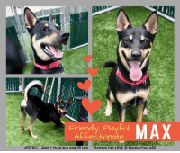 Being Alone, Best Friend, and Bones: Friendly, Playful  Affectionate  oAX  #37214-JUST 1 YEAR OLD AND 39 LBS . WAITING FOR LOVE  MANHATTAN ACC TO BE KILLED 8/13/2018  HANDSOME, PLAYFUL YOUNG DOG SEEKS ACTIVE, EXPERIENCED HOME  <3  A volunteer writes:  Max reminds me of a cute little wolf right out of a Disney movie! Being an active pooch, he would prefer to be out of his kennel, and welcomes eagerly my leash. We have met yesterday and I can say that we are already pals, even though Max is on the shy side. Max is a fast walker who attends to business right away. He behaved when he saw birds. The yard is a favorite place where, leash free, he bounces around, comes on the lap all of a sudden, gets lots of petting, kisses briefly and goes back to checking our pen for other dogs scents. He is bouncy in all his actions, although I must say that when it comes to being caressed, he remains still for quite a long time. He likes to play ball. Max comes when called and sits beautifully on command, always harboring his largest smile and wagging his tail. He loves treats and takes them quite politely from my hand. Young Max is with us for through no fault of his own. He is described as a friendly, assertive, playful and high energy pet who is a bit shy around strangers. Max needs an experienced and active new owner or family who can give him the level of recreation he needs, expose him little by little to the world, strangers, children and other dogs and make of him a most wonderful forever best friend. Come and meet Max soon at the Manhattan Care Center.  Max  #37214 Male black brown dog  @ Manhattan Animal Care Center About 1 years old Weight 38.8 lbs Owner surrender on 05-Aug-2018, with the surrender reason stated as person health - debilitating injuries.  Sorry, this pet is for new hope partners only.  Max is at risk for behavior concerns, he is standoffish when approached by new people and has been observed to lung and snap when he is uncomfortable. We recommend placement w