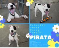"""Aladdin, Children, and Click: Friendly  Swee t  Happy  Playful  PIRATA  36920  -4 yearsold  65 lb s  waiting forahero6  Brooklyn ACC ****TO BE KILLED 8/13/18****  """"If there ever comes a day when we can't be together, keep me in your heart, I'll stay there forever."""" —Winnie-the-Pooh  PIRATA AND HIS BONDED SISTER, CHIVA, FIND THEMSELVES BACK AT BACC THROUGH NO FAULT OF THEIR OWN. Back in 2015, they found themselves abandoned and were lucky to get adopted together! Sadly they have been returned.  They are active, playful pets that are searching for an ACTIVE FUN HOME. Pirata is VERY FRIENDLY AND PLAYFUL. He loves to play with toys and play fetch! HE LOVES HIS SNACKS! Please help this happy, sweet duo find the forever home they so deserve!   Pirata #36920 @Brooklyn ACC 4 years old Weight 65 lbs Surrendered with bonded sister, Chiva #36921 NEW VIDEOS AUGUST 2018 Pirata https://youtu.be/5dSKfhwcxv4 Playful Pirata https://youtu.be/7-pTN5cVncA  Behavior Assessment Date of intake:: 8/3/2018  Spay/Neuter status:: Yes  Means of surrender (length of time in previous home):: Stray, no known history  Date of new assessment:: 8/7/2018  Summary:: Pirata is difficult to handle, lunging and snapping at the handler. He appears to be uncomfortable or afraid of the slip lead. He would hard bark and growl when attempting to approach him and when he sees the leash he would be fixated and bite on to it. He has also allowed minimal handling from his caretakers. Out of concern for his stress levels and his response to restraint, we feel Pirata is not a great candidate for a handling assessment at this time.   Summary (1):: In December 2015, Pirata engaged in rough play with both males and females. He is pushy and energetic when playing and may status seek with some male dogs. Based on his behavior during playgroup, the Behavior Department recommends that Pirata can go to a home with other energetic, playful dogs.  8/4- 8/5: When off leash at the Care Centers, Pirata is a little over-exuberan"""