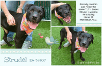 "Butt, Click, and Dogs: Friendly, too thin  and Ready for  some TLC Sweet  Strudel is waiting  for a loving  Home @  Manhattan ACC  Strudel  ID#34407  5 yrs old 444 lbs ****TO BE KILLED 7/21/18****  Strudel seems to be thankful for the attention he is being shown now, to be petted and to be loved by the volunteers. Please share this lovely soul - Strudel deserves to be loved and cared for-as it should be- and to have a happy future ahead <3  A volunteer writes: Delicious Strudel lives up to his name and then some! He's sweet, full of flavor, perfect for entertaining a crowd or savoring as a special treat all by yourself, and while his former life was clearly no bed of roses, on the inside he's just a silly, affectionate puppy wanting nothing more than to love and be loved in return. Strudel acts like he's never seen a toy before and doing anything on command is a foreign concept but he's eager to please and walks very nicely on leash, takes care of his business outdoors and comes when called for jumpy hugs and butt rubs. Strudel's life may not have been lived in luxury but his shining eyes and beaming smile say it all--in spirit and heart, he's the richest dog you'll ever meet. Be the hero Strudel already thinks you are and welcome him home sweet home today!  Behavior Assessment Date of intake:: 7/14/2018  Spay/Neuter status:: No  Means of surrender (length of time in previous home):: Stray, no known history  Date of assessment:: 7/15/2018  Look:: 2. Dog pulls out of Assessor's hands each time without settling during three repetitions.  Sensitivity:: 1. Dog leans into the Assessor, eyes soft or squinty, soft and loose body, open mouth.  Tag:: 1. Dog follows at the end of the leash, body soft.  Paw squeeze 1:: 1. Dog does not respond at all for three seconds. Eyes are averted and ears are relaxed or back.  Paw squeeze 2:: 1. Dog does not respond at all for three seconds. Eyes are averted and ears are relaxed or back.  Toy:: 1. Minimal interest in toy, dog may smell or lick, then turns away.  Summary:: Strudel was soft and allowed all handling without issue.  Summary:: Due to conflicting behavior observed toward dogs in the care center (playful during initial interaction, later attempts to bite), a single dog residence is recommended for Strudel pending follow up outside of the shelter environment.  Summary (1):: 7/15: When introduced to a female greeter dog, Strudel accepts her greetings and engages in play with her. He attempts to mount at times but is receptive to handler correction.  Summary (2):: 7/16: When Strudel greets the helper dog through the fence, he rushes forward stiff, snapping at the helper dog through the fence.  Date of intake:: 7/14/2018  Summary:: Loose bodied, allowed all handling  Date of initial:: 7/14/2018  Summary:: Loose, active, allowed all handling  ENERGY LEVEL:: Strudel displays a medium energy level in the care center.  BEHAVIOR DETERMINATION:: EXPERIENCE (suitable for an adopter with some previous dog experience, especially with the behaviors outlined below)  Behavior Asilomar: TM - Treatable-Manageable  Recommendations:: Single-pet home,Recommend no dog parks  Recommendations comments:: Single pet/no dog parks: See DOG-DOG INTERACTION ASSESSMENT.  My medical notes are... Weight: 44.4 lbs  Vet Notes 14/07/2018  DVM Intake Exam  Estimated age: ~5yrs based on PE.  Microchip noted on Intake? scanned negative by LVT on intake. MC placed on intake.   History : Stray brought in.   Subjective / Observed Behavior - BAR, allows handling; excitable. Loose body throughout exam   Evidence of Cruelty seen - none  Evidence of Trauma seen - multiple healed scars throughout body   Objective  BCS 3/9 EENT: Eyes clear, ears clean, no nasal or ocular discharge noted Oral Exam: incisors free of calculus. Muzzled so unable to perform complete oral exam.  PLN: No enlargements noted H/L: No murmur ausculted; CRT < 2, Lungs clear, eupnic ABD: Non painful, no masses palpated U/G: intact male.  MSI: Ambulatory x 4, skin free of parasites, no masses noted, hair coat is dull. Multiple scars throughout entire body especially head and hind legs.  CNS: Mentation appropriate - no signs of neurologic abnormalities Rectal: grossly normal.   Assessment underweight  dental disease   Prognosis: good.   Plan: ok for adoption TID feedings   SURGERY: Temporary waiver due to underweight   18/07/2018  [Spay/Neuter Waiver - Medical Condition]  Your newly adopted pet has been diagnosed with BEING UNDERWEIGHT and the staff veterinarians are issuing a temporary waiver from the spay/neuter requirements of the City of NY. Follow up care at your regular veterinarian is recommended to ensure continued treatment. Your veterinarian will advise you if surgical sterilization is appropriate.  Strudel ID# 34407 Manhattan Animal Care Center 5 yrs old, 44.4 lbs BLACK MALE Large Mixed Breed Cross Intake Date: 07-14-2018  My health has been checked. My vaccinations are up to date. My worming is up to date. I have been microchipped.  * TO FOSTER OR ADOPT *   If you would like to adopt a dog on our ""To Be Killed"" list, and you CAN get to the shelter in person to complete the adoption process *within 48 hours of reserve*, you can reserve the dog online until noon on the day they are scheduled to die. We have provided the Brooklyn, Staten Island and Manhattan information below. Adoption hours at these facilities is Noon – 8:00 p.m. (6:30 on weekends)  HOW TO RESERVE A ""TO BE KILLED"" DOG ONLINE (only for those who can get to the shelter IN PERSON to complete the adoption process, and only for the dogs on the list NOT marked New Hope Rescue Only). Follow our Step by Step directions below!   *PLEASE NOTE – YOU MUST USE A PC OR TABLET – PHONE RESERVES WILL NOT WORK! **   STEP 1: CLICK ON THIS RESERVE LINK: https://newhope.shelterbuddy.com/Animal/List  Step 2: Go to the red menu button on the top right corner, click register and fill in your info.  Step 3: Go to your email and verify account  Step 4: Go back to the website, click the menu button and view available dogs  Step 5: Scroll to the animal you are interested and click reserve  STEP 6 ( MOST IMPORTANT STEP ): GO TO THE MENU AGAIN AND VIEW YOUR CART. THE ANIMAL SHOULD NOW BE IN YOUR CART! Step 7: Fill in your credit card info and complete transaction Animal Care Centers of NYC (ACC)nycacc.org  HOW TO FOSTER OR ADOPT IF YOU *CANNOT* GET TO THE SHELTER IN PERSON, OR IF THE DOG IS NEW HOPE RESCUE ONLY!   You must live within 3 – 4 hours of NY, NJ, PA, CT, RI, DE, MD, MA, NH, VT, ME or Norther VA.   Please PM our page for assistance. You will need to fill out applications with a New Hope Rescue Partner to foster or adopt a dog on the To Be Killed list, including those labelled Rescue Only. Hurry please, time is short, and the Rescues need time to process the applications."