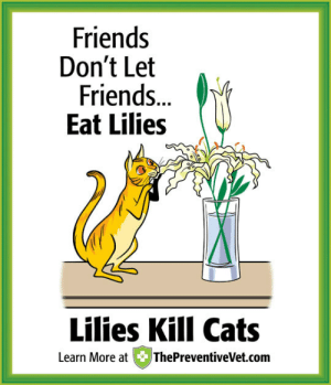 Cats, Dogs, and Drinking: Friends  Don't Let  Friends  Eat Lilies  Lilies Kill Cats  Learn More at ThePreventiveVet.com afrogeekgoddess: yes-this-is-not-ok:  h-g-sol:  crzywitchgrl:  adoptpets:  thenagaqueen:  I have been a cat owner my whole life and I literally never knew that tiger lilies and stargazers were also highly toxic to cats.  Even drinking the water from the vase that lilies are in can kill the cat!  I brought in a tiger lily from our yard today and just thought to look it up and found out (and of course removed the lily from our house as soon as I saw).  How scary!  Other toxic flowers for cats: Amaryllis (Amaryllis sp.) Autumn Crocus (Colchicum autumnale) Azaleas and Rhododendrons (Rhododendron sp.) Castor Bean (Ricinus communis) Chrysanthemum (Chrysanthemum sp.) Cyclamen (Cyclamen sp.) English Ivy (Hedera helix) Kalanchoe (Kalanchoe sp.) Lilies (Lilium sp.) Marijuana (Cannabis sativa) Oleander (Nerium oleander) Peace Lily (Spathiphyllum sp.) Pothos (Epipremnum aureum) Sago Palm (Cycas revoluta) Spanish thyme (Coleus ampoinicus) Tulip and Narcissus bulbs (Tulipa and Narcissus sp.) Yew (Taxus sp.)  REBLOGGIng   Adding to this list Geraniums Begonias Carnations (carnations cause skin problems for kitty if they TOUCH them)  OMG I knew about lilies but not the rest!   https://www.aspca.org/pet-care/animal-poison-control/toxic-and-non-toxic-plants The ASPCA's list of toxic and non-toxic plants for cats, dogs, and horses.