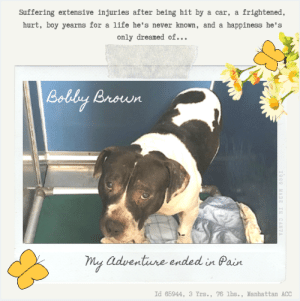 "Being Alone, Children, and Click: frightened  Suffering extensive injuries after being hit by a car, a  hurt, boy yearns for a life he's never known, and a happiness he's  only dreamed of...  Loldby Broun  my adventure ended in Pain  Id 65944, 3 Yrs., 76 lbs., Manhattan ACC  989 MADE IN CANVA TO BE KILLED – 6/22/2019  *** Hit by a Car! ***   Bobby Brown's last week has not been a good one, and now it has gotten much worse. He's on the list to die for Saturday, 6/22, and that will be the end of his story if no one fosters or adopts him.  Wandering a neighborhood alone, trying to find his way home,  he was hit by a car and suffered extensive bruising, swelling and abrasions.  It's no wonder he doesn't want anyone near him or handling him.   He's in pain, he's confused, he is not sure what has happened to him, and all he knows is that when humans are around, he ends up hurt.  And hurt badly.  It's really heartbreaking to see a dog who probably started out his life with hope and happiness in his heart, looking for love and a friend, only to have it all come to this.  And no one is giving him a chance to physically heal before he begins to mentally heal as well.  Won't you please help Bobby Brown? Will you give him a chance?  He needs a very experienced foster or adopter in an adult only home.  He needs a quiet, calm, loving home where ehe can decompress, warm at his own place, and finally, for once in his life, know what it means to be loved and cared about.  If you are the person who can give him the ""dream"" please hurry and message our page or email us at MustLoveDogsNYC@gmail.com for assistance.   BOBBY BROWN, ID# 65944, 3 Yrs. Old, 76.8 lbs, Unaltered Male Manhattan ACC, Large Mixed Breed, Black / White I came to the shelter as a Stray, 6/14/2019 Shelter Assessment Rating:   New Hope Rescue Only Behavior Condition:   3. yellow  AT RISK NOTE:    Bobby Brown his displayed distance increasing behaviors while at the care center and has remained fearful, not allowing for handling. Bobby Brown would be best suited for placement with a new hope partner that can provide the necessary behavior modification. Medically, Bobby Brown seems healthy.  INTAKE NOTE – DATE OF INTAKE, 6/14/2019:  Was hit by a car, suffering extensive bruising, swelling and abrasions.  Was hard barking, growling when found.  SURRENDER NOTES – BASIC INFORMATION:  Stray, no known history.  SHELTER ASSESSMENT SUMMARIES – Date of assessment: 6/16/2019 Summary:: Bobby Brown remains highly fearful in the care center and has tolerated only very minimal handling. Bobby Brown has hard barked and growled at handlers. Out of concern for his stress level and handler safety, an assessment will not be attempted at this time.   MEDICAL BEHAVIOR - Date of initial: 6/14/2019 Summary:: Low growling, low body posture, sedated for examination.  BEHAVIOR DETERMINATION:: New Hope Only Behavior Asilomar: TM - Treatable-Manageable  Recommendations:: No children (under 13),Place with a New Hope partner  Recommendations comments:: No children (under 13): Because of how fearful Bobby Brown currently is, we feel he would be best set up to succeed in an experienced adult only home. Place with a New Hope partner: Due to how fearful Bobby Brown currently is in the care center, we feel he may be best set up to succeed if placed with an experienced rescue partner. Guidance from a professional trainer or veterinary behaviorist is advised as well as utilizing force-free, reward based training only.   Potential challenges: : Fearful/potential for defensive aggression  Potential challenges comments:: Bobby Brown actively moves away from handlers, he has also been observed to hard bark and growl. Please see handout on Fearful and Defensive Aggression.   MEDICAL EXAM NOTES  6/14/2019 DVM Intake Exam Estimated age: 3-4y Microchip noted on Intake? no History : brought in by police. Was loose in neighborhood and was hit by car. Subjective: BAR Observed Behavior - Holding head low and giving low growl when kennel approached. Sedated for exam 0.8ml ketamine, 0.8ml torb, 0.8ml dexmedetomidine, topped up with additional 0.2ml of each of above to deepen sedation Evidence of Cruelty seen -no Evidence of Trauma seen -yes, bruising and abrasions Objective T = P = bradycardic with sedation R = wnl for sedation BCS 5/9 EENT: Eyes clear, ears clean, no nasal or ocular discharge noted Oral Exam: limited oral exam, incisors clean with no evidence of dental disease PLN: No enlargements noted H/L: NSR, NMA, Lungs clear, eupnic ABD: Non painful, no masses palpated U/G: male intact, 2 testes palpable in scrotum MSI: Unable to assess ambulation due to brought in crate and then sedated, extensive bruising and swelling associated with L shoulder, skin free of parasites, no masses noted, healthy hair coat, abrasions on all 4 limbs, nails and distal limbs CNS: Mentation appropriate - no signs of neurologic abnormalities Rectal: external normal Assessment: hit by car no apparent fractures Prognosis: good Plan: lateral and vd xrays of chest and abd, nsa lateral rad of L shoulder, no apparent fractures 0.7ml rimadyl SC 1.3ml buprenorphine sc cbc/chem SURGERY: Temporary waiver due to car accident   6/14/2019 [Spay/Neuter Waiver - Temporary] Due to being involved in a car accident the staff veterinarians are issuing a TEMPORARY waiver from the spay/neuter requirements of the City of NY. Follow up care at your regular veterinarian is recommended to ensure continued treatment through to the resolution of the issue. At the time of a full recovery you may choose to have your veterinarian perform the spay/neuter surgery, or make provisions to return the pet to ACC for sterilization.  6/20/2019 Discussed with behavior department as the dog is very fearful The dog is able to walk. Visual- dog was resting comfortably  *** TO FOSTER OR ADOPT ***  BOBBY BROWN IS RESCUE ONLY. You must fill out applications with New Hope Rescues to foster or adopt him. He cannot be reserved online at the ACC ARL, nor can he be direct adopted at the shelter. PLEASE HURRY AND MESSAGE OUR PAGE FOR ASSISTANCE!   HOW TO RESERVE A ""TO BE KILLED"" DOG ONLINE (only for those who can get to the shelter IN PERSON to complete the adoption process, and only for the dogs on the list NOT marked New Hope Rescue Only). Follow our Step by Step directions below!   *PLEASE NOTE – YOU MUST USE A PC OR TABLET – PHONE RESERVES WILL NOT WORK! **   STEP 1: CLICK ON THIS RESERVE LINK: https://newhope.shelterbuddy.com/Animal/List  Step 2: Go to the red menu button on the top right corner, click register and fill in your info.   Step 3: Go to your email and verify account  \ Step 4: Go back to the website, click the menu button and view available dogs   Step 5: Scroll to the animal you are interested and click reserve   STEP 6 ( MOST IMPORTANT STEP ): GO TO THE MENU AGAIN AND VIEW YOUR CART. THE ANIMAL SHOULD NOW BE IN YOUR CART!  Step 7: Fill in your credit card info and complete transaction   HOW TO FOSTER OR ADOPT IF YOU *CANNOT* GET TO THE SHELTER IN PERSON, OR IF THE DOG IS NEW HOPE RESCUE ONLY!   You must live within 3 – 4 hours of NY, NJ, PA, CT, RI, DE, MD, MA, NH, VT, ME or Norther VA.   Please PM our page for assistance. You will need to fill out applications with a New Hope Rescue Partner to foster or adopt a dog on the To Be Killed list, including those labelled Rescue Only. Hurry please, time is short, and the Rescues need time to process the applications.  Shelter contact information Phone number (212) 788-4000  Email adoption@nycacc.org  Shelter Addresses: Brooklyn Shelter: 2336 Linden Boulevard Brooklyn, NY 11208 Manhattan Shelter: 326 East 110 St. New York, NY 10029 Staten Island Shelter: 3139 Veterans Road West Staten Island, NY 10309    *** NEW NYC ACC RATING SYSTEM ***  Level 1 Dogs with Level 1 determinations are suitable for the majority of homes. These dogs are not displaying concerning behaviors in shelter, and the owner surrender profile (where available) is positive.   Level 2  Dogs with Level 2 determinations will be suitable for adopters with some previous dog experience. They will have displayed behavior in the shelter (or have owner reported behavior) that requires some training, or is simply not suitable for an adopter with minimal experience.    Level 3 Dogs with Level 3 determinations will need to go to homes with experienced adopters, and the ACC strongly suggest that the adopter have prior experience with the challenges described and/or an understanding of the challenge and how to manage it safely in a home environment."