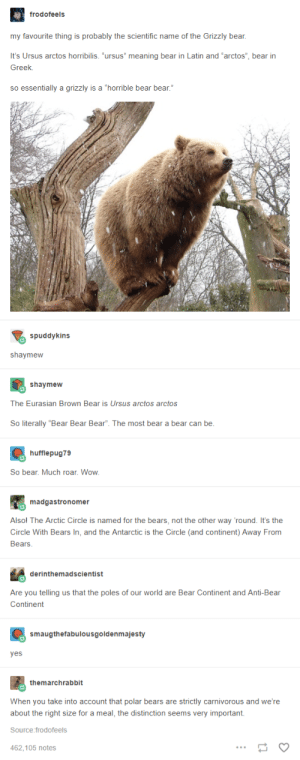 """The bear facts: frodofeels  my favourite thing is probably the scientific name of the Grizzly bear,  It's Ursus arctos horribilis. """"ursus"""" meaning bear in Latin and """"arctos"""", bear irn  Greek.  so essentially a grizzly is a """"horrible bear bear.""""  spuddykins  shaymeww  shaymew  The Eurasian Brown Bear is Ursus arctos arctos  So literally """"Bear Bear Bear"""". The most bear a bear can be  hufflepug79  So bear. Much roar. Wow  madgastronomer  Alsol The Arctic Circle is named for the bears, not the other way 'round. It's the  Circle With Bears In, and the Antarctic is the Circle (and continent) Away From  Bears  derinthemadscientist  Are you telling us that the poles of our world are Bear Continent and Anti-Bear  Continent  smaugthefabulousgoldenmajesty  yes  themarchrabbit  When you take into account that polar bears are strictly carnivorous and we're  about the right size for a meal, the distinction seems very important.  Source:frodofeels  462.105 notes The bear facts"""