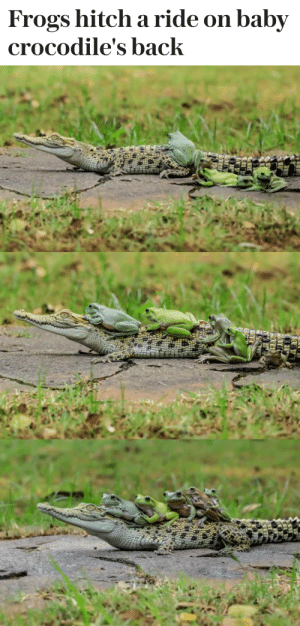 hitch: Frogs hitch a ride on baby  crocodile's back