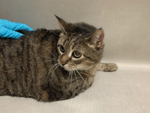 """Cats, Facebook, and Family: From a loving home to a cold death row cell at NYC ACC lovely senior tabby girl kitty """"Lily"""" #56732 is lonely & scared! Needs a little saving, a little love & a diet in that order! Be the angel! Be the one! Pledge/share/save! LAST CALL!   https://www.facebook.com/nycurgentcats/photos/a.2778768035474499/2778780975473205/?type=3&theater  Via NYC Urgent Cats    Hello, my name is Lily. My animal id is #56732. I am a desexed female brown tabby cat at the Manhattan Animal Care Center. The shelter thinks I am about 10 years 1 weeks old.  I came into the shelter as a owner surrender on 10-Mar-2019, with the surrender reason stated as person health - going into care facility.  Lily is at risk for behavioral reasons. Lily has remained fearful at the care center and has exhibited distance increasing behaviors. While Lily does allow for some handling, she quickly becomes nervous and retreats from the handler. Lily would be best suited for an experienced, adult only adopter who can provide Lily with a slow approach to help her gradually adjust to new people and environments. Medically, Lily seems healthy.  Let's get to know each other a bit more... A volunteer writes: This sweet gal was quite shy today. Mostly she remained in the back of her condo facing away from the world. However, with time, and some quiet talk and gentle petting, she finally turned around and took a gander at the outside world. While I gently petted her, Lily, she was watchful, but blinked softly. Lily needs to find her forever home where she will be given the time to come out of her shell and become part of her new family. Patience and gentleness are the watchwords with sweet Lily. Are you ready for this sweet cat?  Weight: 16.1 lbs"""