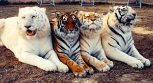 From left to right:-Snowwhite,Standard tiger,Golden tiger and White bengal tiger: From left to right:-Snowwhite,Standard tiger,Golden tiger and White bengal tiger