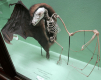 This bat didn't thank mr skeltal: FRUIT-BAT OR FLYING FOX  Pteropus medius  India, Burma.  preparation.  A1426 This bat didn't thank mr skeltal