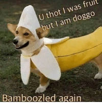 Bamboozled: fruit  U thot I was but I am  doggo  Bamboozled again