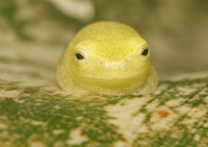Tumblr, Blog, and Http: ftcreature:  This reed frog looks like an angry lemon. photo by Josh Daskin