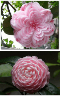 """fuckyeahchinesefashion: dansecoppelia:  Speaking of pretty flowers, may I present to you the """"Eighteen Scholars"""", the flower of my heart-a variation of Camellia japonica L. Its uniqueness lies in the layers and layers of petals-one flower can hold as much as 130 petals. Named """"Eighteen Scholars"""" in Chinese because at the most, one bush can have up to eighteen of these pretty darlings :3  十八学士  I really like the flower in the last picture: fuckyeahchinesefashion: dansecoppelia:  Speaking of pretty flowers, may I present to you the """"Eighteen Scholars"""", the flower of my heart-a variation of Camellia japonica L. Its uniqueness lies in the layers and layers of petals-one flower can hold as much as 130 petals. Named """"Eighteen Scholars"""" in Chinese because at the most, one bush can have up to eighteen of these pretty darlings :3  十八学士  I really like the flower in the last picture"""