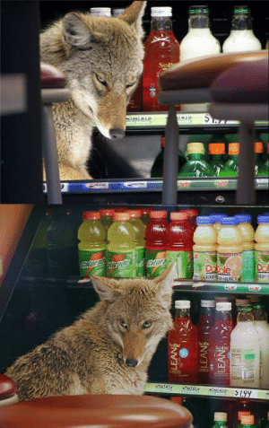 "fullmetalfisting:  mesaxi:  A coyote cools off in the drink fridge at a Quiznos in the Chicago Loop, 2007 ""It did not growl. It did not make any sounds. It just tried to get in. Apparently it was scared and tried to shelter itself,"" said Ray Zavalas, Quiznos employee.   Imagine being at Quiznos and seeing a whole-ass coyote blocking the drinks  : fullmetalfisting:  mesaxi:  A coyote cools off in the drink fridge at a Quiznos in the Chicago Loop, 2007 ""It did not growl. It did not make any sounds. It just tried to get in. Apparently it was scared and tried to shelter itself,"" said Ray Zavalas, Quiznos employee.   Imagine being at Quiznos and seeing a whole-ass coyote blocking the drinks"