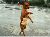 Funny dog is shopping toys and walking in a very funny style: Funny dog is shopping toys and walking in a very funny style
