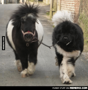 Just a Newfoundland is taking his pony for a walkomg-humor.tumblr.com: FUNNY STUFF ON MEMEPIX.COM  MEMEPIX.COM Just a Newfoundland is taking his pony for a walkomg-humor.tumblr.com