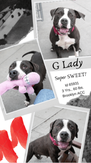 Beautiful, Best Friend, and Dogs: G Lady  Super SWEET!  Id 65931  3 Yrs., 60 lbs.  Brooklyn ACC INTAKE DATE – 6/14/2019  Have you ever seen such a face?  Don't you just want to smush it and kiss it?  We do.  Because this adorable, endearing, super sweet lady has an open and loving heart, and a playful spirit.  G LADY is not only beautiful outside, she has a beautiful personality and nothing but love in her heart for everyone she meets.   She wants to be in your lap, she wants cuddles and kisses, and oh yes – please oh please give her treats.  😊  Isn't it time for a new best friend.  G Lady is waiting and ready to be your BFF for life.  Foster or adopt her now.  Message our page or email us at MustLoveDogsNYC@gmail.com for assistance.   MY MOVIE: Sweet Lady  https://youtu.be/8caqfre993w  G LADY, ID# 65931, 3 yrs old, 60.6 lbs, Unaltered Femalel Brooklyn ACC, Large Mixed Breed, Charcoal / White    Owner Surrender Reason:  Shelter Assessment Rating: LEVEL 1 Medical Behavior Rating:   1. Green  ***  TO FOSTER OR ADOPT  ***   If you would like to adopt a NYC ACC dog, and can get to the shelter in person to complete the adoption process, you can contact the shelter directly. We have provided the Brooklyn, Staten Island and Manhattan information below. Adoption hours at these facilities is Noon – 8:00 p.m. (6:30 on weekends)  If you CANNOT get to the shelter in person and you want to FOSTER OR ADOPT a NYC ACC Dog, you can PRIVATE MESSAGE our Must Love Dogs page for assistance. PLEASE NOTE: You MUST live in NY, NJ, PA, CT, RI, DE, MD, MA, NH, VT, ME or Northern VA. You will need to fill out applications with a New Hope Rescue Partner to foster or adopt a NYC ACC dog. Transport is available if you live within the prescribed range of states.  Shelter contact information: Phone number (212) 788-4000 Email adopt@nycacc.org  Shelter Addresses:  Brooklyn Shelter: 2336 Linden Boulevard Brooklyn, NY 11208  Manhattan Shelter: 326 East 110 St. New York, NY 10029  Staten Island Shelter: 3139 Veterans Road West Staten Island, NY 10309  *** NEW NYC ACC RATING SYSTEM ***  Level 1  Dogs with Level 1 determinations are suitable for the majority of homes. These dogs are not displaying concerning behaviors in shelter, and the owner surrender profile (where available) is positive.   Level 2   Dogs with Level 2 determinations will be suitable for adopters with some previous dog experience. They will have displayed behavior in the shelter (or have owner reported behavior) that requires some training, or is simply not suitable for an adopter with minimal experience.   Level 3  Dogs with Level 3 determinations will need to go to homes with experienced adopters, and the ACC strongly suggest that the adopter have prior experience with the challenges described and/or an understanding of the challenge and how to manage it safely in a home environment. In many cases, a trainer will be needed to manage and work on the behaviors safely in a home environment.