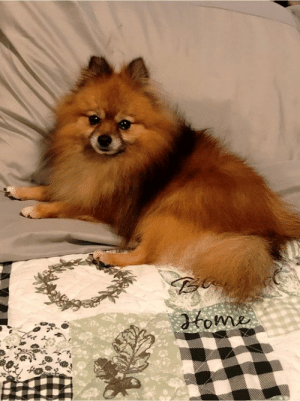 Gully is all cleaned up and loving Pom life right now. Relax and enjoy little man!!!: Ga  fome Gully is all cleaned up and loving Pom life right now. Relax and enjoy little man!!!