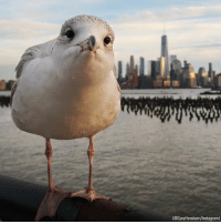 Instagram, Memes, and Camera: (@GaryHershorn/Instagram) A curious seagull peers into the camera in Hoboken, N.J., with One World Trade Center on the horizon. (📷: @garyhershorn)