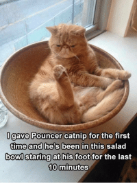 """Memes, Time, and Been: gave Pouncer catnip for the first  time and he's been in this salad  bowl staring at his foot  for the last  10 minutes """"Far out man!"""" :-)"""