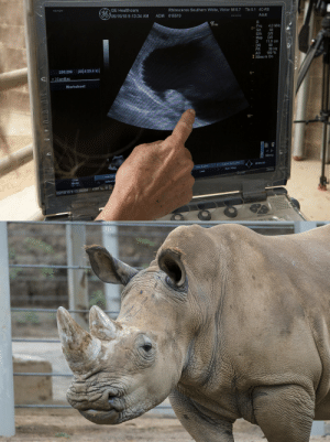 ghulehtela: sdzoo:  SCIENCE WIN! Researchers confirmed today that Victoria, a southern white rhino at the San Diego Zoo Safari Park's Rhino Rescue Center, is pregnant after successful artificial insemination. Learn more about this exciting milestone: http://endextinction.org/victoria  Yay rhinos! : GE Healthcare  05/15/18 9:13:34 AM  Rhinoceros Southern White, Victor MI 0.7  615519  Tls 0.1 4C-RS  ADM  Adult  e Vet  Frq 4.0 MH2  Gn 44  EIA 0/3  Map D/0  D 11.0 cm  DR 90  FR 39 Hz  AO 100 %  0-  XXBea m On  299:299 (23.4:23.4 s)  <1 ◆1 Cardiac  Worksheet  10-  Menu  Frame By Frame  Run IStop  End Frame  Last  Loop Spe  Cine  Mode  start뉴슐  ò8H5/189:13:36AM ghulehtela: sdzoo:  SCIENCE WIN! Researchers confirmed today that Victoria, a southern white rhino at the San Diego Zoo Safari Park's Rhino Rescue Center, is pregnant after successful artificial insemination. Learn more about this exciting milestone: http://endextinction.org/victoria  Yay rhinos!