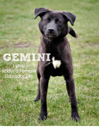 Dogs, Memes, and Puppies: GEMINI  yeor  Spdyed Female  Labrador MiX All dogs/puppies in our shelter can be viewed here.  Any dog not being held as a stray is available for immediate, same-day adoption! Adoption applications are reviewed on site. Please share our dogs and help get them out of the shelter as quickly as possible!  **PLEASE NOTE**  Placing an application on a dog featured in this album does NOT hold the dog for you.  All available dogs are available to be met and adopted same day if already altered.  If not altered, the dog can be met and paid for in order to hold the dog for you.  Thank you for your understanding!