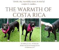 """Children, Click, and Dogs: Gentle, shy, incredibly sweet, in need of  comfort & cuddles..  THE WARMTH OF  COSTA RICA  Id 32990, @ 2 Yrs., 34 Petite lbs.  Broken hearted&dreaming of Love  In Manhattan ACC TO BE KILLED - 7/10/2018  A GENTLE, SWEET, SHY PIXIE, """"COSTA RICA"""" IS HOPING FOR THE WARMTH OF A FAMILY HOME AGAIN! She came to the shelter with her siblings Mexico and Puerto Rico but they were immediately separated to suffer further pangs of loneliness. All had only known the love of one family, and all had been bred for the money their puppies would bring. Costa Rica is so gentle, so in need of comfort and love. She is so lost in the shelter, quiet and shy, her former world gone, her new life keeping her frozen in place. We love her petite frame, and our hearts break that she is so sad and yet so willing to hold out her heart again, hope in her eyes that she will be loved back. Won't you help this incredibly sweet girl? As experienced volunteer Evelyne Cumps writes: """"Costa Rica and her sisters Mexico and Puerto Rico came to us as their owners could not care for them anymore. They all had their share at motherhood but look well cared for and healthy. Shyness is their hallmark, at least within our walls but Costa Rica is slowly coming out of her shell. I got quite a lot of smiles from her yesterday and it was not the heat making her out of breath! Her eyes were shining too. I think she enjoyed the company and attention, bringing warmth and peace to her heart. Costa Rica is a good walker, possibly house trained. She sits on command(for treats or none) and does come when called. She likes to settle next to me for caresses and this morning, I even got a little kiss. Life in slow motion, it is always with timid dogs. As she went briefly after a tennis ball, I guess that she must have been played with in her former home. I am sure that there is a lot more to say about pretty Costa Rica and it is for you to discover when she will be yours. Come and meet her soon at the M"""