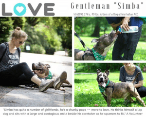 "Af, Children, and Click: Gentleman ""Simba""  LOVE  Id 62892, 2 4rs, 49 lbs, A Gem of a Doq af Manhatan ACC  REC  PURPIEL  400  PESCUE  ""Simba has quite a number of girlfriends, he's a chunky papa - more to love. He thinks himself a lap  dog and sits with a large and contagious smile beside his caretaker as he squeezes to fit."" A Volunteer TO BE KILLED 7/20/19  *** The most perfect dog in the world is STILL waiting! How can that be? ***  Who's the king of the concrete jungle? SIMBA of course. He's also the king of our hearts. This adorable little guy is shyly sweet and super playful with his friends in doggy playgroup. But no matter how much fun he is having, he still dreams of a family to call his own. With the cutest ear set on the planet, and those out turned toes we can't imagine that is a tall order. If you can foster or adopt SIMBA you need to hurry and Message our page or email us at MustLoveDogsNYC@gmail.com for assistance.  A volunteer writes: ""We all admire resilience! Some dogs struggle in a shelter environment, others thrive after finding their bearing away from their home and families. Simba who came with his sister Baby Girl is one of those heroes. He has made lots of friends among staff and volunteers as well as with his peers. Simba has quite a number of girlfriends here at the care center! He has flourished mentally and physically, gaining even a sizable amount of pounds during his stay. Simba is now a chunky papa and that much more dog to love. He thinks himself a lap dog and sits with a large and contagious smile beside his caretaker as he squeezes to fit. You should see him on his boroughbreaks, strolling through Central Park, posing for pictures, enjoying a drink and likely tons of treats that he now takes so gently. He is gorgeous, glamorous and quite an obedient guy!. And if it was not enough, come and see him play in our yard. Simba loves his toys and can self entertain if needed! Come meet Simba at the Manhattan Care Center and discover what a wonderful friend you could add to your life!""  MY MOVIE: Simba has a blast on his boroughbreak  https://youtu.be/sUdwgXekfmI  Simba and Issabella in Playgroup  https://youtu.be/INGIBT4-d3g   SIMBA, ID# 62892, 2 yrs old, xx lbs, Male Manhattan ACC, Large Mixed Breed , Gray Brindle / White Adoption Return after 1 week Owner Surrender Reason:  Shelter Assessment Rating:  Medical Behavior Rating:   ------------------------------------------------------  NOTES FIRST STAY / Intake: 5/15/2019  SIMBA, ID# 62892, 2 yrs old, 49.6 lbs, Unaltered Male Manhattan ACC, Large Mixed Breed , Gray Brindle / White Owner Surrender Reason:  Shelter Assessment Rating: LEVEL 2 No young children (under 5) Medical Behavior Rating: Blue   CAME IN WITH: BABYGIRL ID# 62891, also in need: https://www.facebook.com/mldsavingnycdogs/photos/a.202865483233063/985208501665420/?type=3&theater  SAFER ASSESSMENT: Date of assessment: 19-May-2019  Leash Walking Strength and pulling: None Reactivity to humans: None Reactivity to dogs: None Leash walking comments: None  Sociability Loose in room (15-20 seconds): Highly social Call over: Approaches readily Sociability comments: Body soft, jumping up, mouths with moderate pressure  Handling  Soft handling: Seeks contact Exuberant handling: Seeks contact Comments: Body soft, leans into pets  Arousal Jog: Follows (loose) Arousal comments: None  Knock: No response Knock Comments: None  Toy: No response Toy comments: None  PLAYGROUP NOTES - DOG TO DOG SUMMARIES: 5/16-5/19: When introduced off leash to a female dog, Simba engages in play and attempts to mount when play slows.  INTAKE BEHAVIOR: Date of intake: 15-May-2019 Summary: Calm, friendly, allowed handling  MEDICAL BEHAVIOR: Date of initial: 15-May-2019 Summary: Loose body  ENERGY LEVEL:MSimba is described as having a medium level of energy.  IN SHELTER OBSERVATIONS: Simba is taking part in Nose Games at the care center. He is learning to 'find it', currently watching handlers place the treats into boxes on ground level and with the openings facing up or out. He can 'find it' when he watches the handlers place the treats.   BEHAVIOR DETERMINATION: Level 2 Behavior Asilomar TM - Treatable-Manageable  Recommendations: No young children (under 5) Recommendations comments: No young children: Due to the high level of jumping, mounting, and mouthing seen at the care center, we recommend a home without young children. Older children who are comfortable around large, jumpy dogs should have an in-depth interaction prior to adoption.   Potential challenges: Basic manners/poor impulse control Social hyperarousal Mouthiness/poor bite inhibition Potential challenges comments: Basic manners/poor impulse control: Simba jumps up on people a lot in a social manner. Please see handout on Basic Manners. Mouthiness/poor bite inhibition: Simba is mouthy at the care center, applying moderate pressure. Please see handout on Mouthiness. Social hyperarousal: At the care center, Simba has been observed to jump up, mouth, and mount people when excited. Please see handout on Arousal.  MEDICAL EXAM NOTES   16-Jun-2019 Progress Exam BAR, today is last day of enrofloxacin Still has mild nasal discharge bilateral No sneezing or coughing A:Hx of CIRDC, last day of enro P: -Extend enrofloxacin x 5 days -Add in doxycycline 300 mg PO SID x 10 days -Recheck in 5 days 14-Jun-2019 Progress Exam SO  Recheck CIRDC day 7, relapse.  EN -- eyes are clear. no nasal discharge. P is sniffling intermittently  A  CIRDC  P  continue on current tx plan  recheck in 2 days 7-Jun-2019 Progress Exam SO: on rounds  BAR at front of kennel seeing mucoid nasal d/c and hearing congestion during observation time. A: CIRDC P: move to iso enrofloxacin 204mg 1 and 1/3 tablet sid x10d cerenia 60mg 1/2 sid x4d recheck in 7 days 6-Jun-2019 Progress Exam SO: on rounds  mild crusting lesions on back and tips of ears A: mild dermatitis P: scheduled for medicated bath may need oral meds as well recheck in 7 days 1-Jun-2019 Progress Exam S: CIRDC 9 day check O: BAR, Euhydrated, Eating EENT: Very mild, intermittent serous nasal discharge MSI: Ambulatory x 4 A: Resolving CIRDC. Symptoms progressively more mild on treatment.  P:  1. Move to adoption 2. Monitor health in adoption MG supervision 1498 Vet Notes: 4:38 PM EENT - Moderate clear nasal discharge still present Recheck in 48 hours  29-May-2019 Progress Exam sfd shadowing Weltz S: 7 day CIRDC recheck O: On observation mild serous nasal discharge, no coughing noted during examination A: CIRDC P: Continue treatment as prescribed in isolation. Recheck in 4 days 22-May-2019 Progress Exam SO: on rounds noticed coughing with mucoid nasal d/c bright and alert in kennel standing at front of kennel eating with normal appetite A: CIRDC P: Enrofloxacin 204mg 1.25 tablets once daily PO cerenia 60mg tab 1/2 tablet once daily recheck in 7days 15-May-2019 DVM Intake Exam Estimated age: ~2-3yrs based on PE.  Microchip noted on Intake? scanned negative. placed by lvt  History : Surrendered by O along with Baby girl 62891.  Subjective / Observed Behavior - BAR, food motivated! Pawing at muzzle when placed. Otherwise loose body and allows handling, though strong and requires restraint.  Evidence of Cruelty seen - none  Evidence of Trauma seen - none  Objective  BCS 5/9 EENT: Eyes clear, ears clean, no nasal or ocular discharge noted Oral Exam: dc 1/5; pd 1/5  PLN: No enlargements noted H/L: No murmur ausculted; CRT < 2, Lungs clear, eupnic ABD: Non painful, no masses palpated U/G: intact male. testicles smooth and symmetrical.  MSI: Ambulatory x 4, skin free of parasites, no masses noted; circular alopecia with crusting along the dorsal head and multiple similar lesions along the ventral neck. woodslamp negative.  Mentation appropriate - no signs of neurologic abnormalities Rectal: externally normal.  Assessment dental disease  Prognosis: excellent  Plan: cefpodoxime 200mg PO q24h x 10 days  SURGERY: Okay for surgery  *** TO FOSTER OR ADOPT ***  HOW TO RESERVE A ""TO BE KILLED"" DOG ONLINE (only for those who can get to the shelter IN PERSON to complete the adoption process, and only for the dogs on the list NOT marked New Hope Rescue Only). Follow our Step by Step directions below!   *PLEASE NOTE – YOU MUST USE A PC OR TABLET – PHONE RESERVES WILL NOT WORK! **   STEP 1: CLICK ON THIS RESERVE LINK: https://newhope.shelterbuddy.com/Animal/List  Step 2: Go to the red menu button on the top right corner, click register and fill in your info.   Step 3: Go to your email and verify account  \ Step 4: Go back to the website, click the menu button and view available dogs   Step 5: Scroll to the animal you are interested and click reserve   STEP 6 ( MOST IMPORTANT STEP ): GO TO THE MENU AGAIN AND VIEW YOUR CART. THE ANIMAL SHOULD NOW BE IN YOUR CART!  Step 7: Fill in your credit card info and complete transaction   HOW TO FOSTER OR ADOPT IF YOU *CANNOT* GET TO THE SHELTER IN PERSON, OR IF THE DOG IS NEW HOPE RESCUE ONLY!   You must live within 3 – 4 hours of NY, NJ, PA, CT, RI, DE, MD, MA, NH, VT, ME or Norther VA.   Please PM our page for assistance. You will need to fill out applications with a New Hope Rescue Partner to foster or adopt a dog on the To Be Killed list, including those labelled Rescue Only. Hurry please, time is short, and the Rescues need time to process the applications."