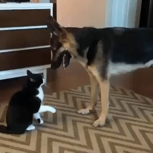 "gently-berns:  thefingerfuckingfemalefury:  catgirl9696:  uglyassbitch42:  elliehopaunt: worth watching for the end  yo what tHE FUCK ¡   Interesting fact these two are playing but they are using play behaviors of their own species so they dont really ""match up""! Dog - is ""bowing"" and using open mouth ""bites"" as forms of play  ""Play fight with me!"" Cat - is giving the little paw bats they use when playing with kittens ""Cute kittens get booped!"" They are both trying to engage the other in a playful way but not understanding the others responce. The dog is like ""you smack so no play? but not hard smack and no bad noise so not angry?"" The cat is like ""why you jump around? open mouth but no chomp? no hiss so is okay?"" And then they sort of settle with a kind of communal grooming gesture they both understand! Dog: no play? okay i lay… we calm now friend! Cat: sad? no play? is ok i luv u weird kitten!   AMAZING @the-punforgiven : gently-berns:  thefingerfuckingfemalefury:  catgirl9696:  uglyassbitch42:  elliehopaunt: worth watching for the end  yo what tHE FUCK ¡   Interesting fact these two are playing but they are using play behaviors of their own species so they dont really ""match up""! Dog - is ""bowing"" and using open mouth ""bites"" as forms of play  ""Play fight with me!"" Cat - is giving the little paw bats they use when playing with kittens ""Cute kittens get booped!"" They are both trying to engage the other in a playful way but not understanding the others responce. The dog is like ""you smack so no play? but not hard smack and no bad noise so not angry?"" The cat is like ""why you jump around? open mouth but no chomp? no hiss so is okay?"" And then they sort of settle with a kind of communal grooming gesture they both understand! Dog: no play? okay i lay… we calm now friend! Cat: sad? no play? is ok i luv u weird kitten!   AMAZING @the-punforgiven"