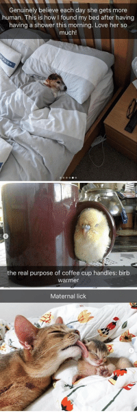 animalsnaps:Animal snaps: Genuinely believe each day she gets more  human. This is how found my bed after having  having a shower this morning. Love her so  much!   the real purpose of coffee cup handles: birb  warmer   Maternal lick animalsnaps:Animal snaps