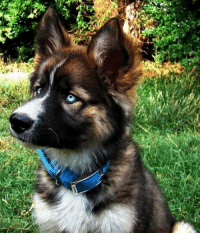 German Shepard Siberian Husky Mix: German Shepard Siberian Husky Mix