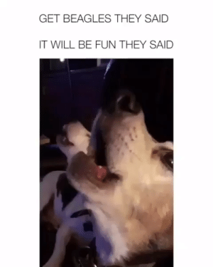 Animals, Dogs, and Puppies: GET BEAGLES THEY SAID  IT WILL BE FUN THEY SAID When She needs attention🐶❤#dogs #doglovers #puppy #puppies #animals #animallovers #lovelyanimalsworld #dogvideos