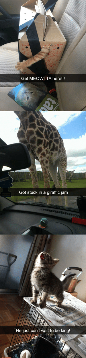 animalsnaps:Animal snaps: Get MEOWTTA here!!!   Got stuck in a giraffic jam   He just can't wait to be king! animalsnaps:Animal snaps