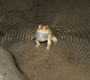 ghostof-nothing:  bufobufobufo:  toadschooled:  A very powerful American toad creates ripples in water with his call. [Anaxyrus americanus] [x]  The Seas bende to his Presence  @dead-piscean @emofuel: ghostof-nothing:  bufobufobufo:  toadschooled:  A very powerful American toad creates ripples in water with his call. [Anaxyrus americanus] [x]  The Seas bende to his Presence  @dead-piscean @emofuel