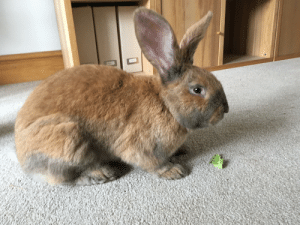 Giant, Rabbit, and Continental: Giant continental rabbit